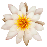 Quit White Water Lily by jeanicebartzen27