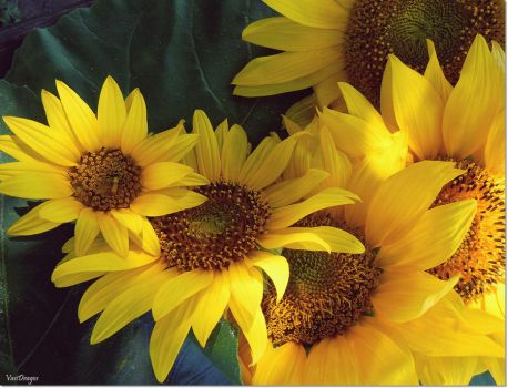 For the love of sunflowers by VasiDgallery