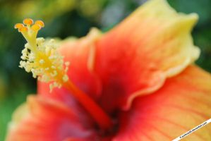 Hibiscus by portnoy05