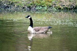 A Goose Family by Frostygirl696