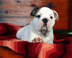 Bulldog on Blanket by Sabrina7777
