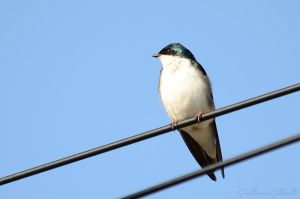 Tree Swallow by GuillaumGibault