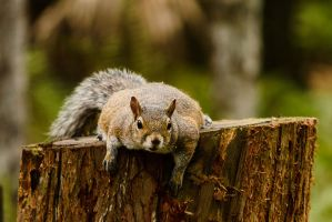 Lounging Squirrel by 2753Productions