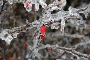 Frozen Berries 2 by wolfphotography