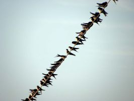 Swallows 1 by valsomir