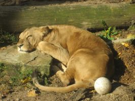 Lion relaxes by Sudrabvilks