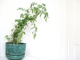 Twisted Tomato Plant by devianb