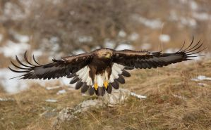 Young Goleden eagle by BogdanBoev