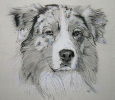 australian shepherd dog by IK-Portraits