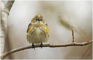 Yellow-rumped Warbler by Ryser915