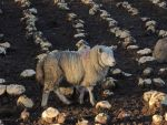 Another sheep in the neeps by piglet365