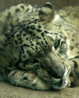 Snow Leopard 02 by TropicalxLondon