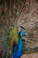 Horny peacock I by Svennovitch