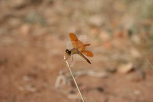 the orange dragonfly by deathpixeel