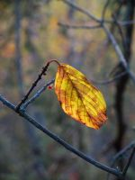 Fall leaf by Wolverica