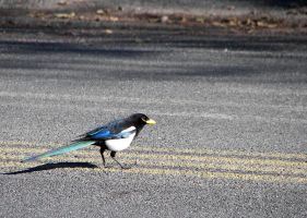 Why Did The Magpie... by Ciameth