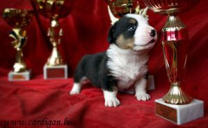3 weeks old cardigan puppy by Sintija