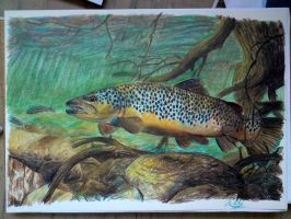 Brown trout by SusHi182