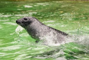 Seal in Action by Sagittor