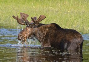 Bull Moose by Les-Piccolo