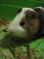 Guinea pig by FaridaF