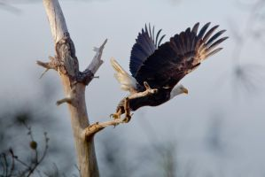 Bald Eagle Lift Off 1 by bovey-photo