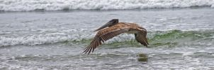 Brown Pelican by nivaun