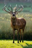 Red deer II by moem-photography
