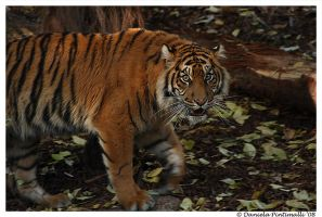 Baby Tiger II by TVD-Photography