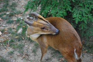 muntjac 1.5 by meihua-stock