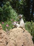 Meerkat Lookout by topace12