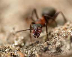 Red Wood Ant - Formica rufa by TheFunnySpider