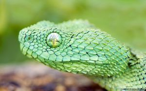 African Bush Viper by imthecustomizer