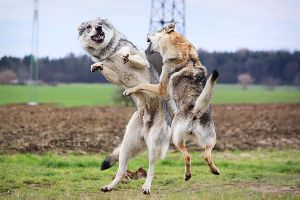 Kung-Fu Wolfdogs by Czertice