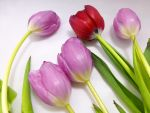 Tulips for Valentine's Day by MogieG123