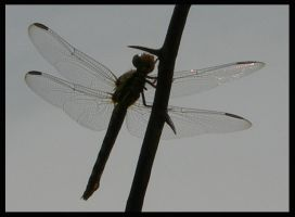 Dragonfly by tomegatherion