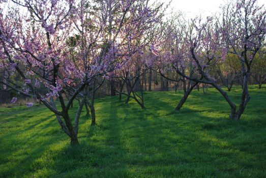 Peach orchard 2 by InKi-Stock