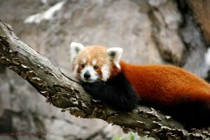Red Panda 1 by iFearMyself