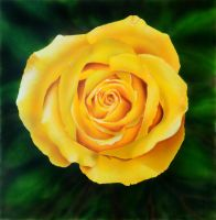 Yellow Rose of Missouri by jsalozzo