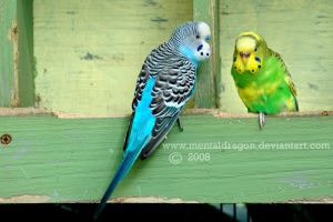 Budgie Pair by mentaldragon