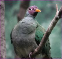 Jambu Fruit Dove by SilkenWinds