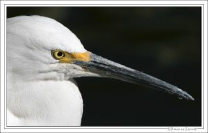 Snowy Egret portrait by oOBrieOo