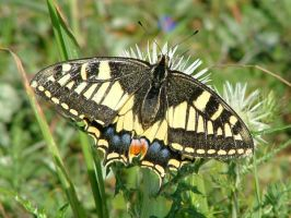 Maltese Swallowtail butterfly by Faunamelitensis