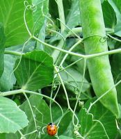 Lady Bug and the Giant Pea by justamom