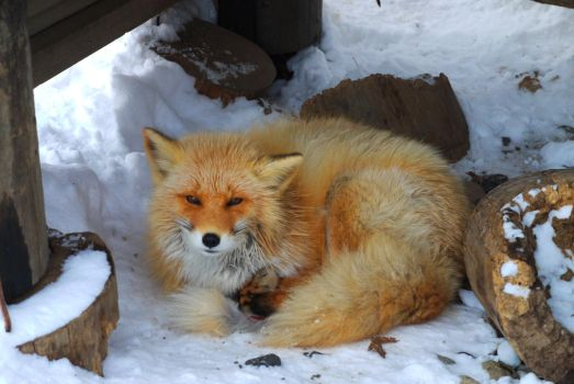 Foxes in winter pt34 by lycanthrope1021