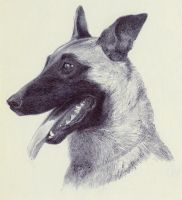Belgian Malinois by Ryer-Ord-Star