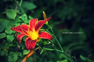 Red Flower by Cromium