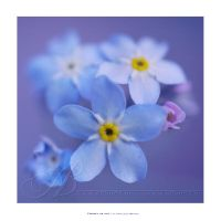 :: Forget me not :: by Liek