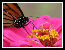 Monarch 3 by picworth1000wrds