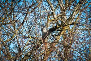 Camping on a branch - Western Scrub Jay by Spirit-whales